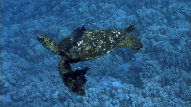 Green sea turtle (Chelonia mydas) swims over coral reef, Hawaii