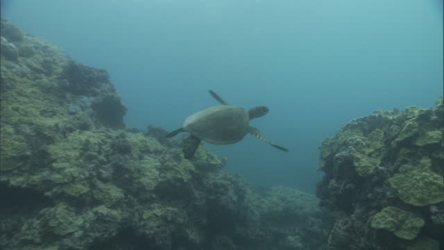green sea turtle (chelonia mydas) swims over reef, hawaii - green turtle stock videos and b-roll footage