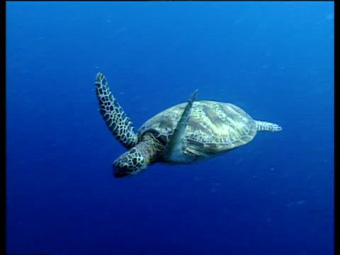 Green sea turtle swims through tropical blue ocean