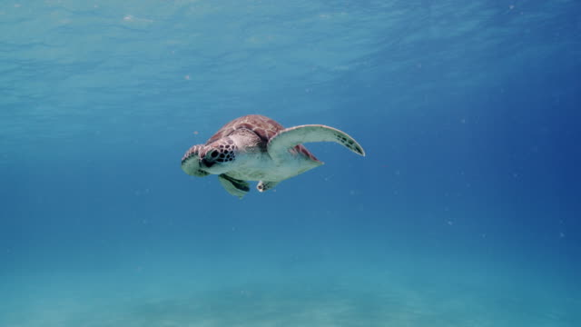 stockvideo's en b-roll-footage met green sea turtle - schildpad