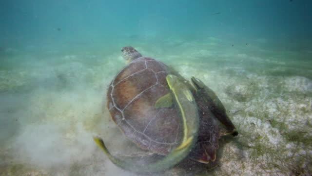 green sea turtle - akumal stock videos and b-roll footage
