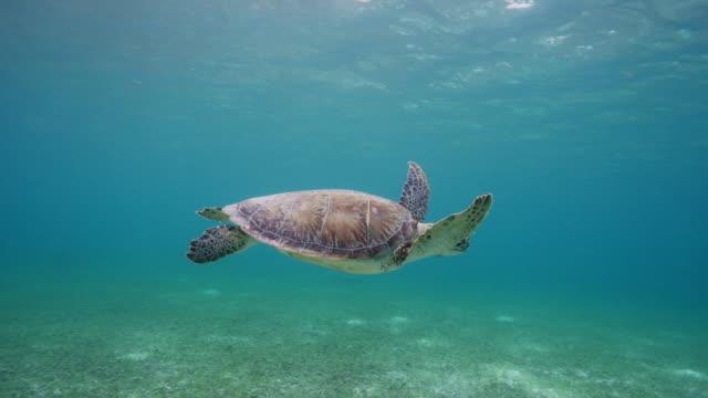 vidéos et rushes de green sea turtle - tortue aquatique