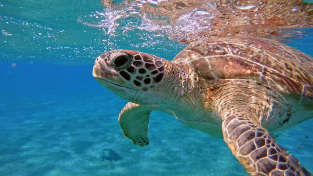 green sea turtle (chelonia mydas) - 30 seconds or greater stock videos & royalty-free footage
