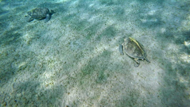 vídeos de stock e filmes b-roll de green sea turtle (chelonia mydas) - sargaço