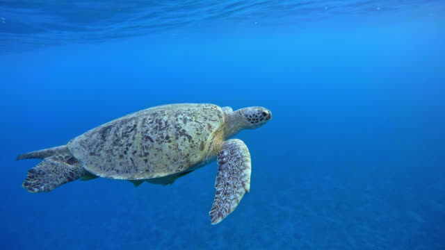 green sea turtle (chelonia mydas) - green turtle stock videos and b-roll footage