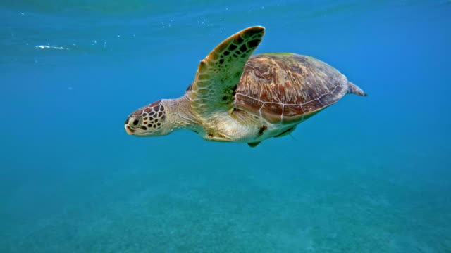 green sea turtle (chelonia mydas) - green turtle stock videos & royalty-free footage