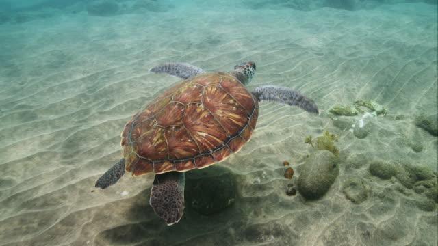 vídeos de stock, filmes e b-roll de green sea turtle - ilhas do oceano atlântico