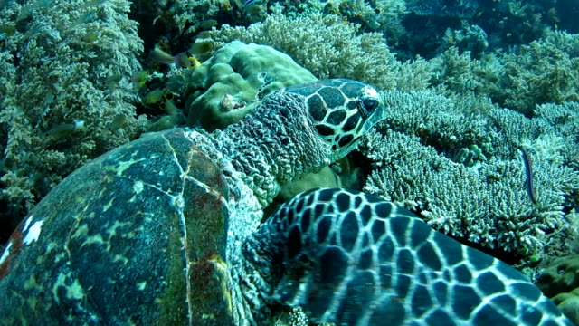 green sea turtle walking on the coral reef - lizardfish stock videos & royalty-free footage