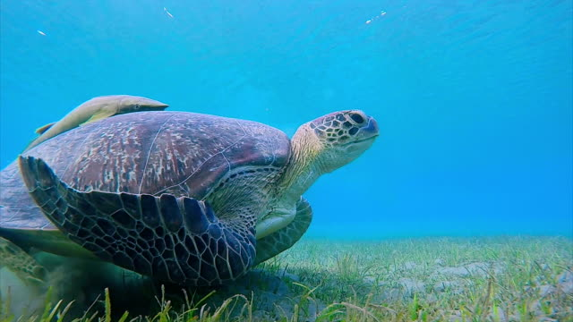 green sea turtle with remora fish grazing on seagrass bed / marsa alam - sea grass plant stock videos & royalty-free footage