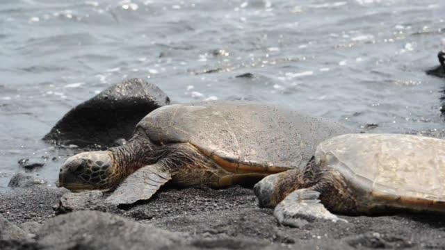 green sea turtles hawaii - black olive stock videos & royalty-free footage