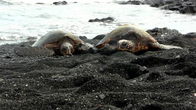 stockvideo's en b-roll-footage met green sea turtles in black beach, hawaii - soepschildpad