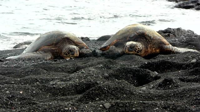 緑海亀、ハワイのビーチ、ブラック - 木を抱く点の映像素材/bロール
