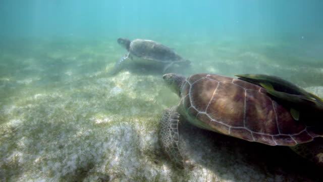 green sea turtles - sea grass plant video stock e b–roll