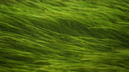 Green seagrass hover in the water. Seaweed is a common aquatic plant. Zostera marina grows in the river, lake, sea or in the ocean.