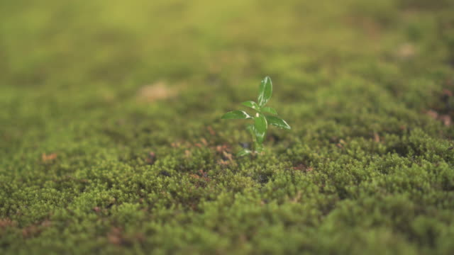 Green seedling growing on the moss ground in the rain.