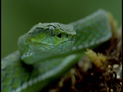 cu green snake head, good scale detail, tongue flicks out, western ghats, india - maul stock-videos und b-roll-filmmaterial