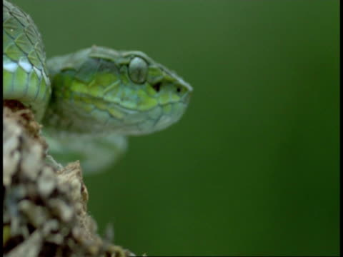 cu green snake head in profile, tongue flicks out, western ghats, india - maul stock-videos und b-roll-filmmaterial