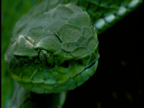 BCU green snake head, scale detail, tongue flicks out, Western Ghats, India