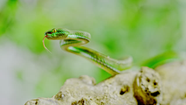 super slo mo green snake in hunting posture - aggression stock videos & royalty-free footage