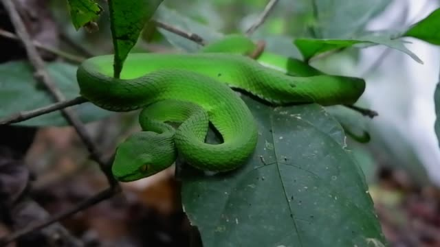 green snake (green pit viper bites) in the bush - camouflage stock videos & royalty-free footage