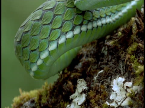 cu green snake, pan right from scaly body to head, western ghats, india - scaly stock videos and b-roll footage