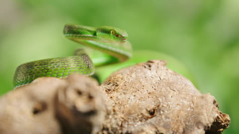 slo mo green snake snare for it's prey - viper stock videos & royalty-free footage