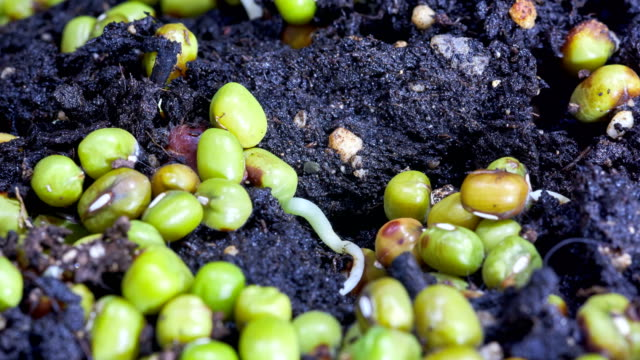 green soy sprouts growing in time lapse - germinating stock videos & royalty-free footage