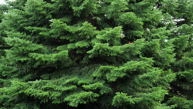 green spruce branches as a textured background. sways in the wind. - クリスマスツリー点の映像素材/bロール