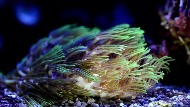 Green Star Polyp