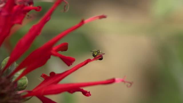green sweat bee takeoff from red monarda, high speed - ベルガモット点の映像素材/bロール