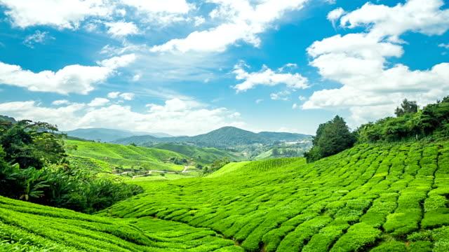 Green Tea Cameron Highland.