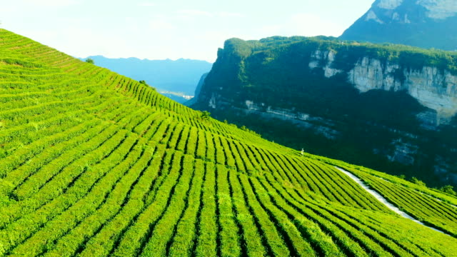 green tea plantation - crop stock videos & royalty-free footage