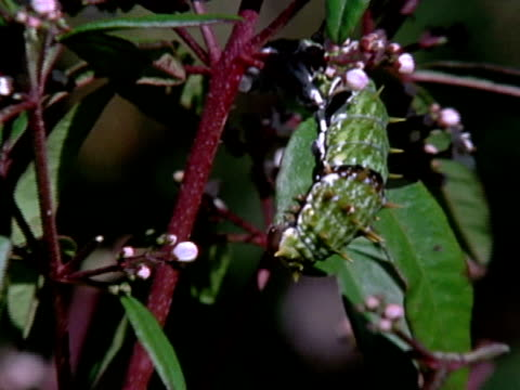 A green thorny caterpillar eats a leaf