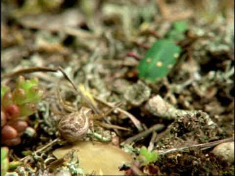 vídeos y material grabado en eventos de stock de green tiger beetle (cicindela campestris) and crab spider (thomisus onustus) sequence, uk - escarabajo de cuerno largo