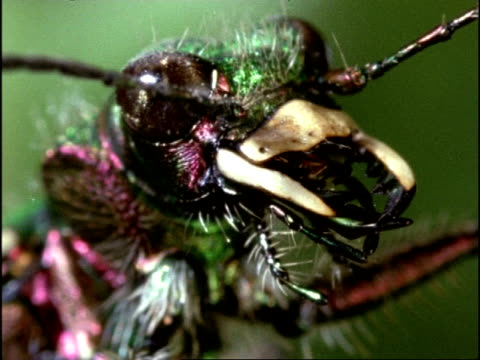 green tiger beetle (cicindela campestris) ecu head with large jaws, england - 触角点の映像素材/bロール