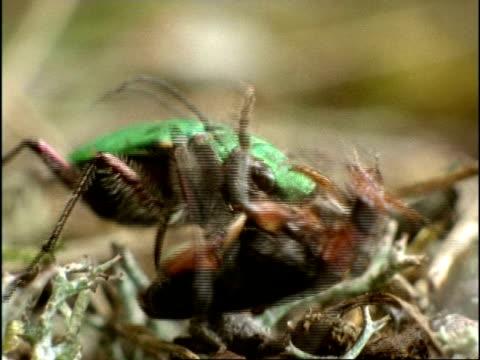 vídeos y material grabado en eventos de stock de green tiger beetle (cicindela campestris) hunting and eating soldier beetle (rhagonycha fulva), sequence, uk - escarabajo de cuerno largo