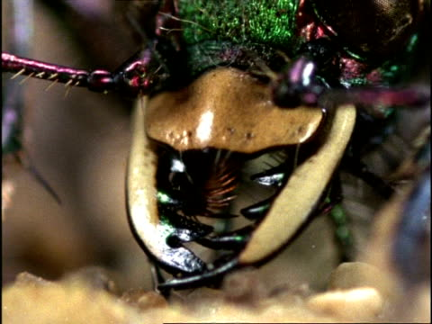 vídeos de stock, filmes e b-roll de green tiger beetle (cicindela campestris) ecu jaws opening & closing, england - feiura