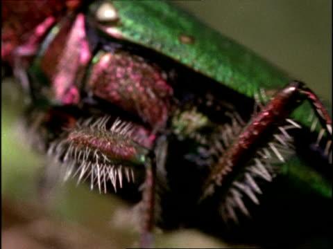 green tiger beetle (cicindela campestris) ecu, leg with white hairs, england - gliedmaßen körperteile stock-videos und b-roll-filmmaterial