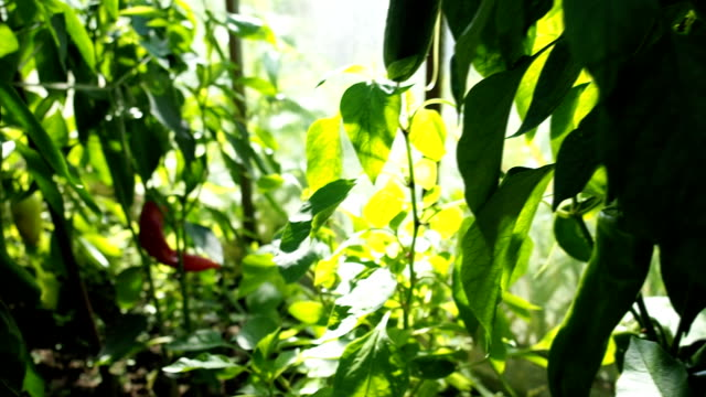 Green tomatoes and red peppers in the greenhouse VIDEO