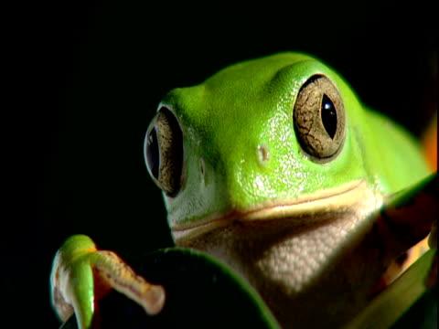 green tree frog blinks at camera - blinking stock videos & royalty-free footage
