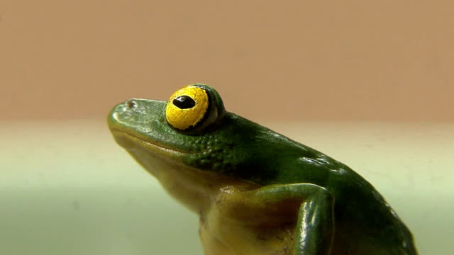 green tree frog - retina stock videos and b-roll footage
