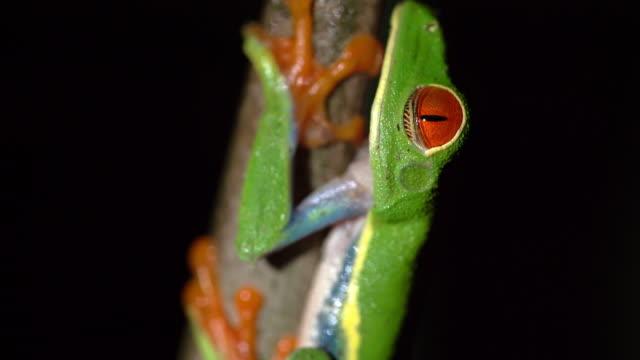 CU Green Tree Frog
