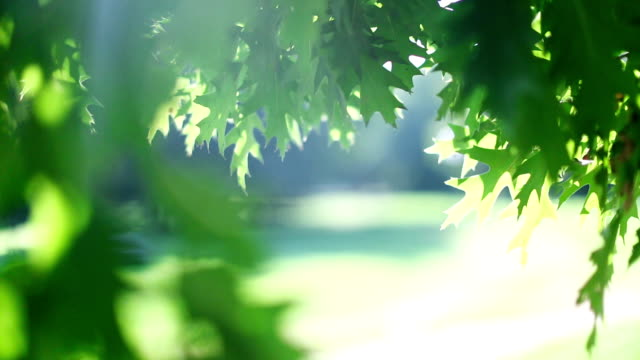 green tree leaves - maple tree stock videos and b-roll footage