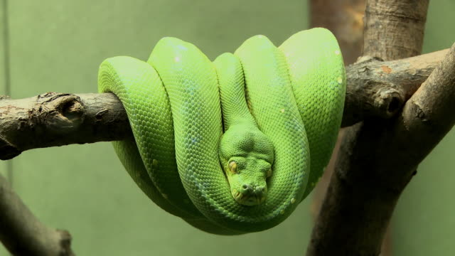 ms, green tree python (morelia viridis) coiled in branch, toronto, canada - morelia video stock e b–roll