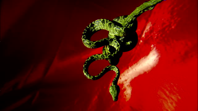 a green tree python hangs in a spiral shape in front of a red pulsating background. - pulsating stock videos & royalty-free footage