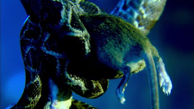 a green tree python squeezes a rat. - イングランド南西部点の映像素材/bロール