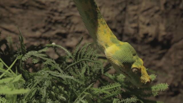 green tree python - morelia video stock e b–roll