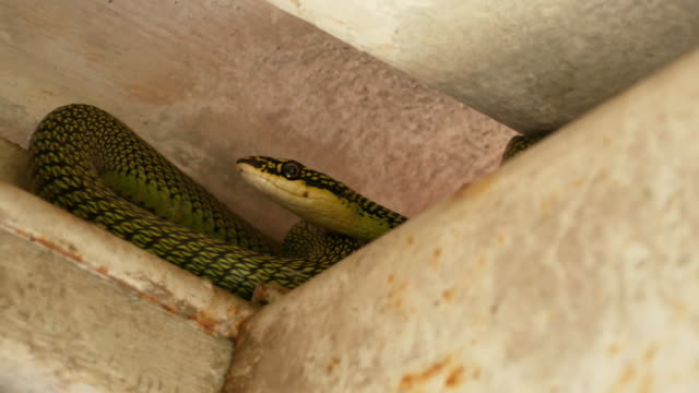 green tree snake hidden on rooftop - scaly stock videos & royalty-free footage