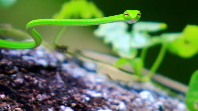 green tree snake - disguise stock videos and b-roll footage