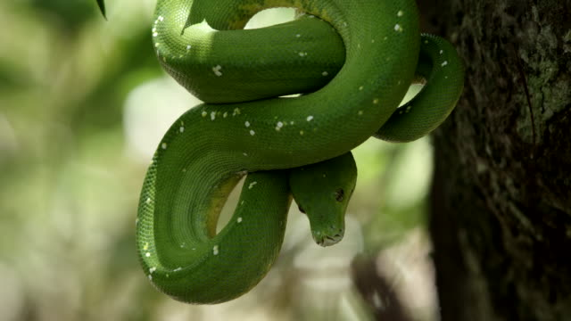 green tree snake wrapped around trunk, pan down coiled body - morelia video stock e b–roll
